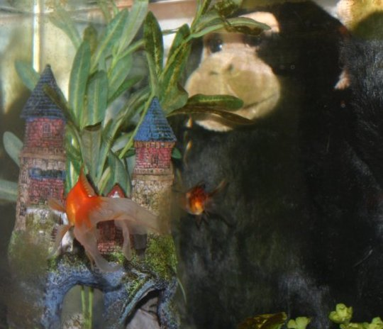 I came home and found that damn monkey IN MY GOLDFISH TANK!!!  My poor fish were terrified! There's water ALL OVER THE PLACE!!!!