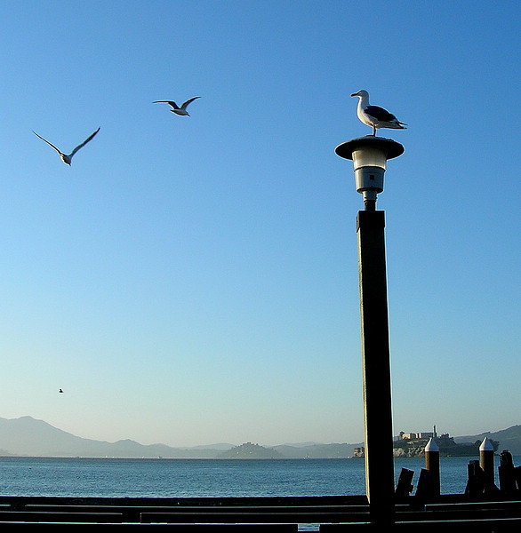Seagulls at the ferry landing at Pier 41 in San Francisco. Alcatraz is in the background to the right, with the hills of Marin County in the distance.