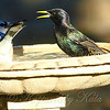 A Starling and a Blue Jay Fighting Over Possession of the Birdbath