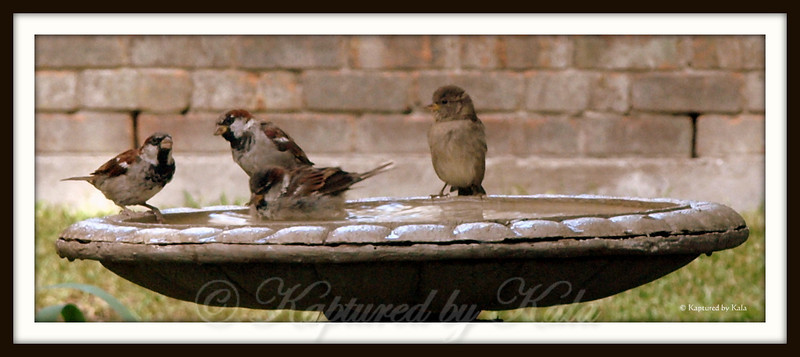3 Male Sparrows Showing Off Have Caught the Eye of a Female