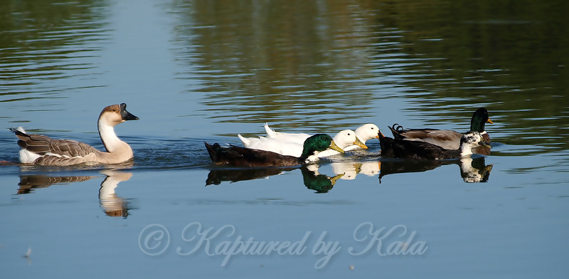 I'm A Duck, I'm A Duck, I'm A Duck....