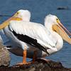 Two Headed Pelican