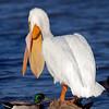 Pelican Raspberry