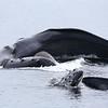 Lunge-feeding Humpbacks in Frederick Sound.
