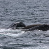 Lunge-feeding Humpback in Frederick Sound.