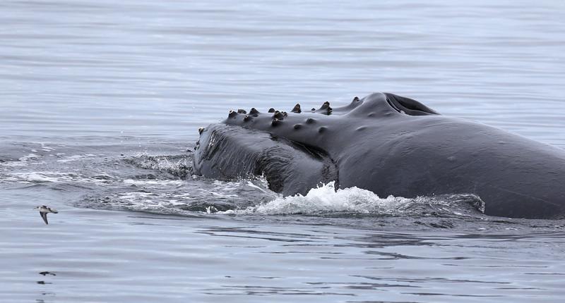 Lunge-feeding Humpback in Frederick Sound.