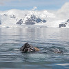 Bubble-feeding Humpback Whales in the Errera Channel
