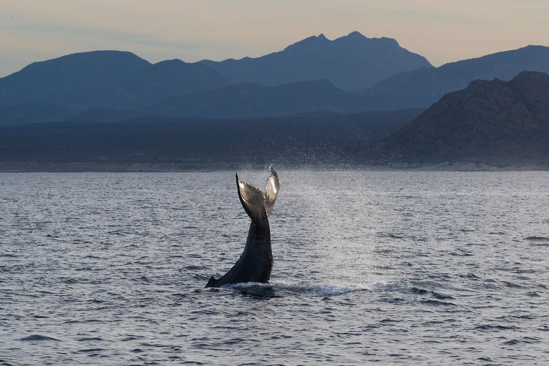 A Humpback Whale tail-slapping