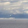 Distant Humpback whales fluking in Frederick Sound.