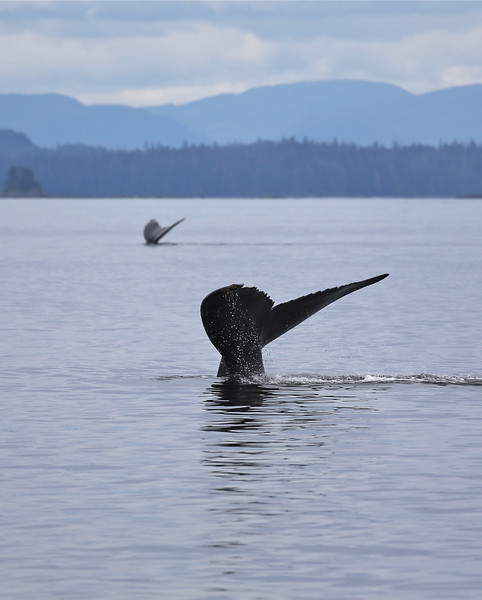 Humpback whale flukes in Frederick Sound.
