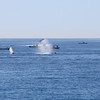 Humpback Whales coming up in the middle of a fishing fleet on the Gorda Bank