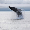 Breaching Humpback whale in Frederick Sound