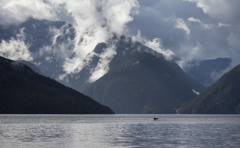 Humpback fluking against spectacular rainforest scenery