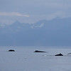Humpback whales in Frederick Sound.