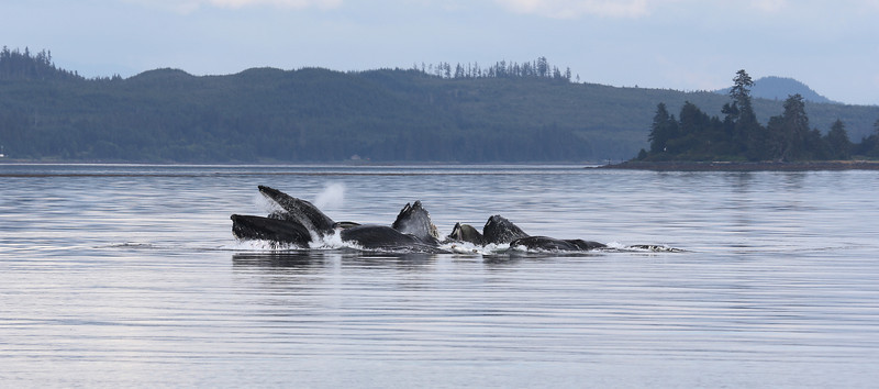 Bubble-net feeding by a group of 8 or 9 Humpback whales in Frederick Sound.