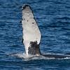 Pec-slapping Humpback Whale