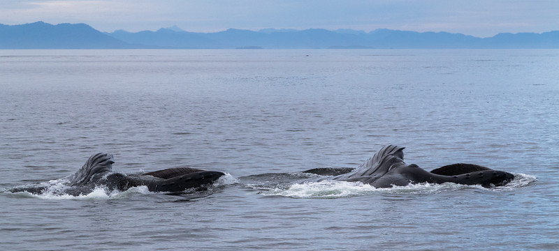 Cooperative lunge feeding in Frederick Sound
