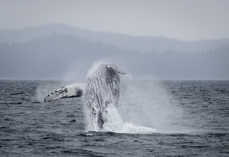 An eruption of whale and water!