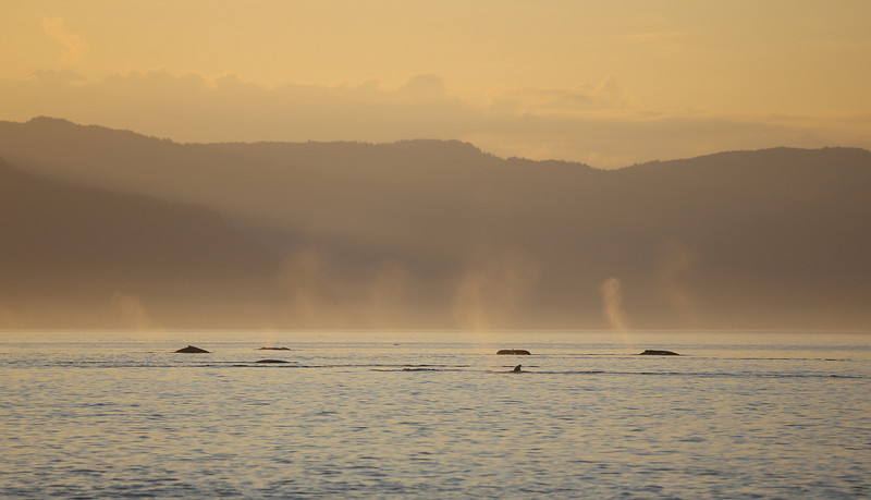 Many Humpback whales feeding at sunset in Frederick Sound.