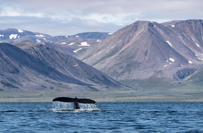 Humpback Whales in Penkigney Bay.  We cruised amongst thirty or so feeding Humpbacks.....