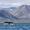 Humpback Whales in Penkigney Bay.  We cruised amongst thirty or so feeding Humpbacks.....
