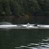 A single Humpback whale bubble feeding in Khutze Inlet