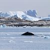 Humpback Whale off Pleneau Island