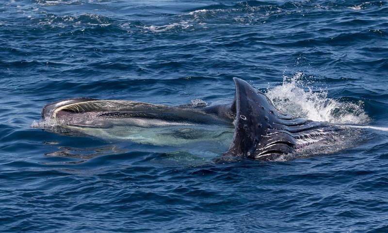 Lunge-feeding Humpback Whale in La Paz Bay