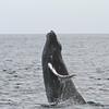 Juvenile Humpback Whale breaching