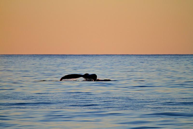 Humpback Whale at sunrise on the Gorda Banks