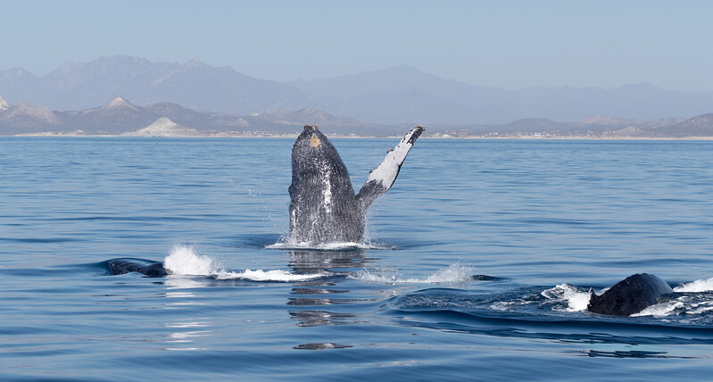 Mating antics.  A female Humpback was being courted by several males which were fighting over her