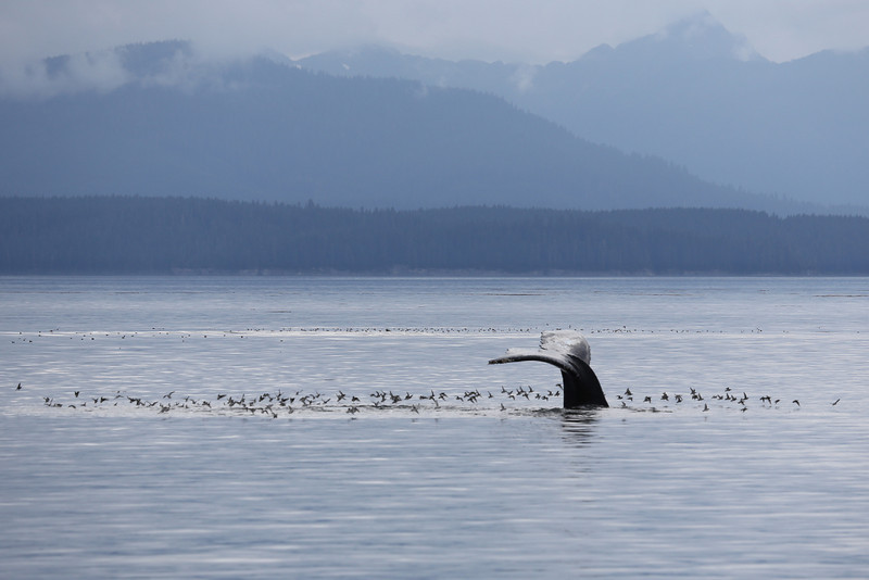 Huge flocks of Red-necked Phalarope were following the Humpbacks as they lunge-fed, searching for scraps.