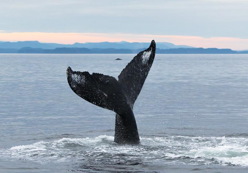 Humpback whale tail-lobbing near Kake