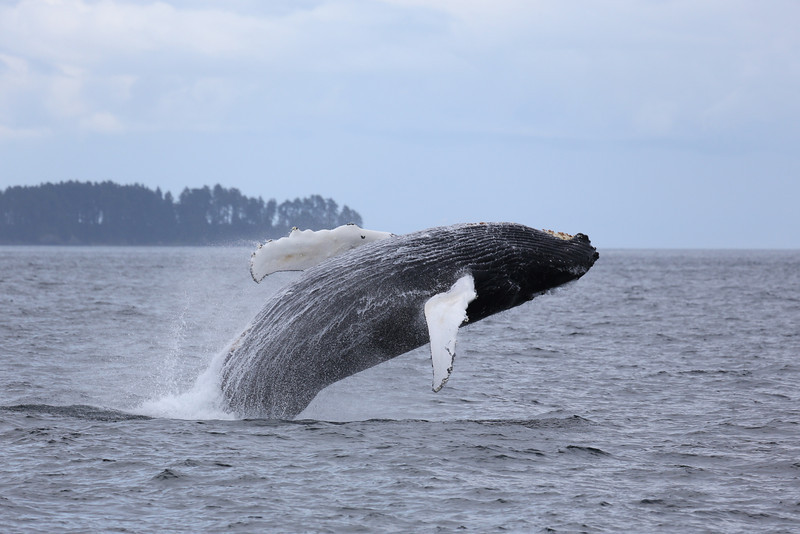 This Humpback whale in Chatham Strait breached repeatedly as we watched.