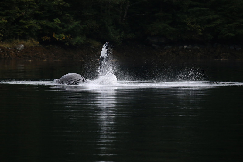 A single Humpback whale bubble feeding in Khutze Inlet