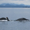 Lunge-feeding Humpbacks in Frederick Sound.
