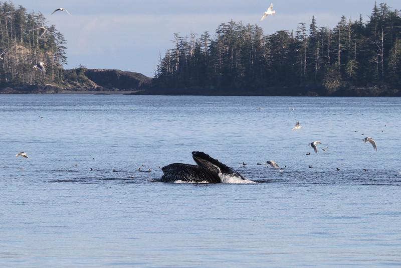 Lunge-feeding Humpback near the Gordon Islands