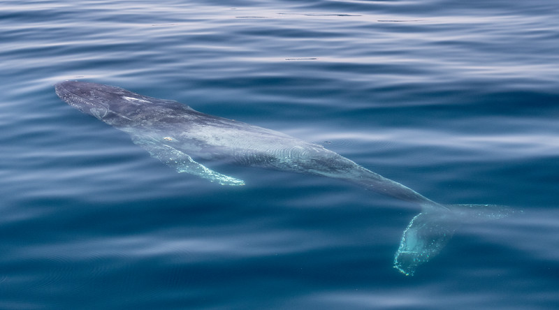 A Humpback Whale gently surfacing in the calm seas of the Sea of Cortez
