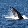 Humpback Whale on the Gorda Bank