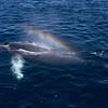 Humpback Whale rain-blow