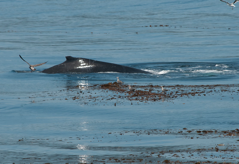 Humpbacks at mouth of Whalers Cove