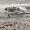 Humpback pectoral flipper