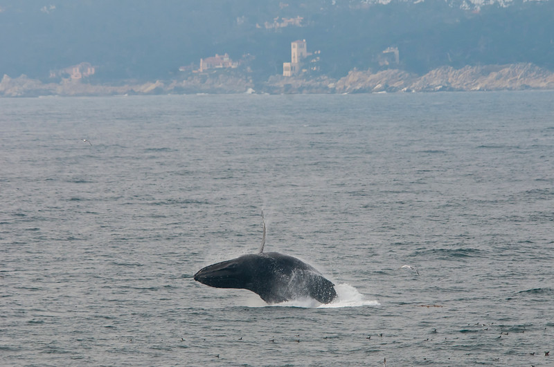 Humpback breeching in Carmel Bay