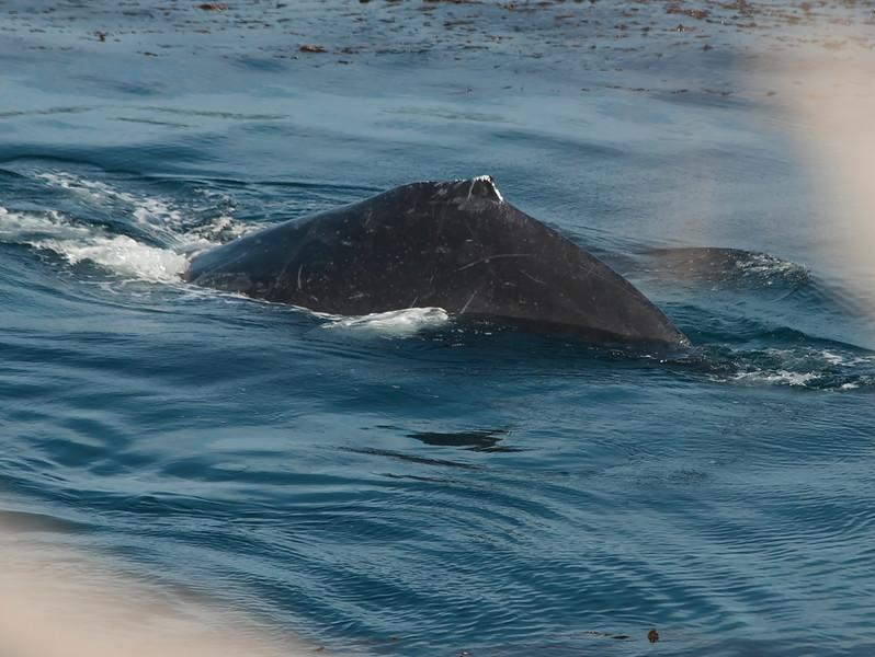 Humpacks feeding at Sea Lion Point