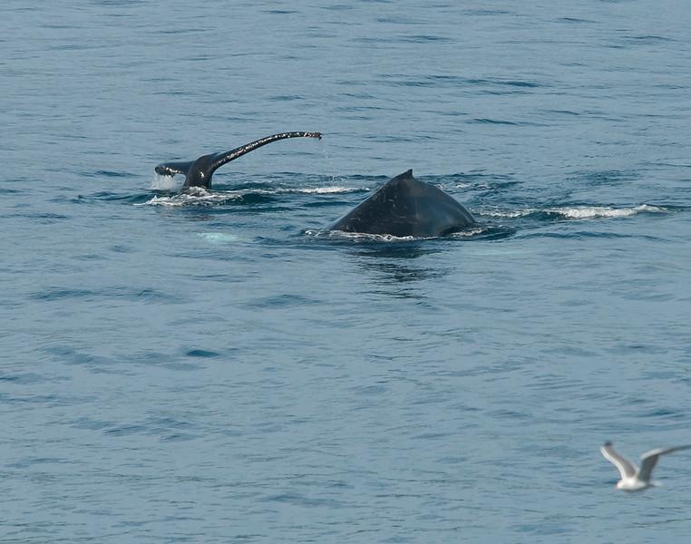 Humpbacks at Whalers Cove