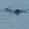 Humpbacks at Whalers Cove