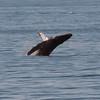 Humpback breeching in Carmel Bay