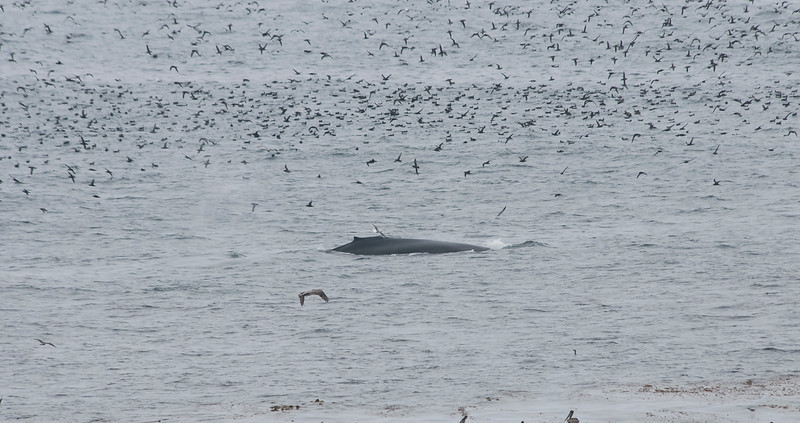 Humpback and Sooty shearwaters