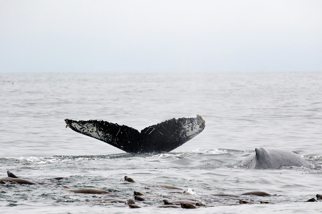 . Two of nine humpback whales feeding on anchovies over the Monterey Bay Submarine Canyon with a couple hundred sea lions.  Taken on Monterey Bay Whale Watch\'s August 9 whale watch. (Jodi Frediani -- Jodi Frediani Photography/Monterey Bay Whale Watch)