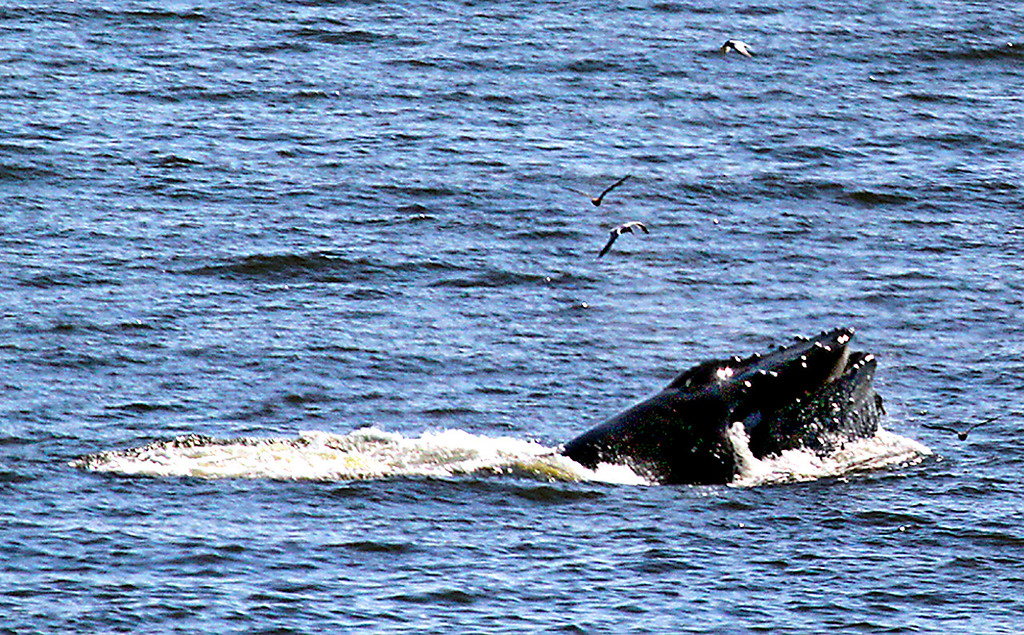 . A humpback whale surfaces in the Monterey Bay off of Aptos this week. (Shmuel Thaler -- Santa Cruz Sentinel)